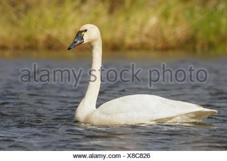 Tundra Swan (Cygnus columbianus) in a pond near Nome, Alaska. - Stock Photo