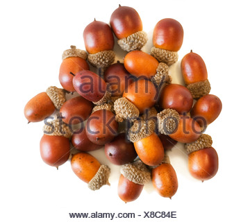 Acorns in a bunch - Stock Photo