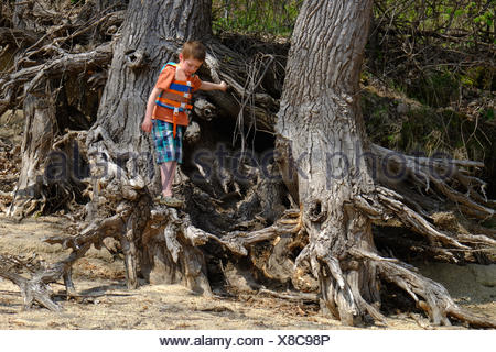 A young boy climbs on the exposed roots of large trees along the sandy shore of the Wisconsin River, Wyalusing State Park. - Stock Photo