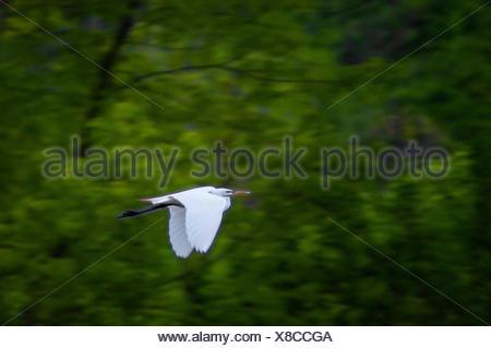 A great egret,Ardea alba,in flight. - Stock Photo