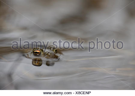 Common toad, Bufo bufo, in water - Stock Photo