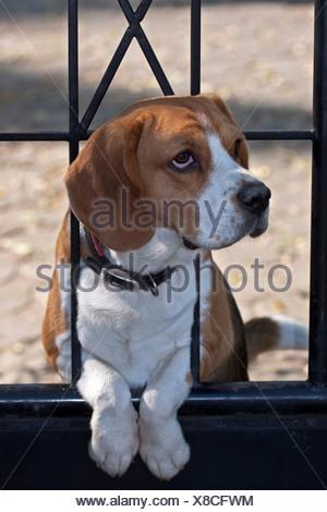 Beagle as a watchdog - Stock Photo