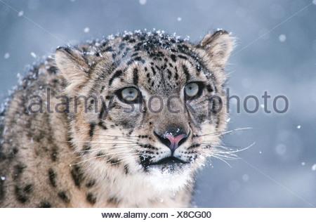 Himalayas. Hindu Kush. Altai. Snow leopard (Panthera uncia), an endangered species. Captive. - Stock Photo