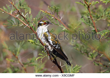 Didric cuckoo (Chrysococcyx caprius), sitting in a thornbush, South Africa, North West Province, Pilanesberg National Park - Stock Photo