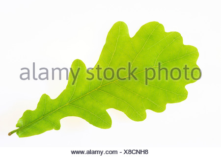 Close-up of an oak leaf over white background - Stock Photo
