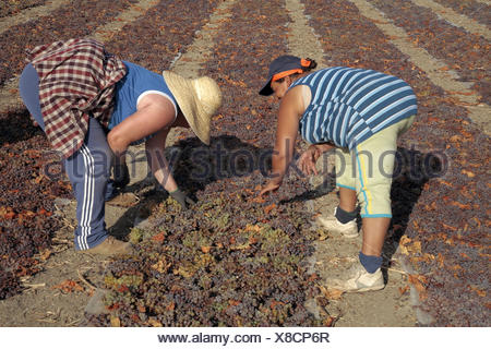 ´Pedro Ximenez´ wine grapes drying on a ´pasero´ and hand turned, at Montalban de Cordoba, to make the famed PX wine, in - Stock Photo