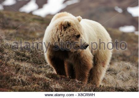 Grizzly Bear (Ursus arctos horribilis) in the Arctic tundra - Stock Photo