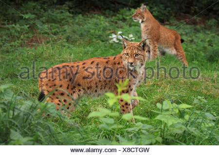 Eurasian lynx (Lynx lynx), two lynxes at forest edge, Germany, Saxony - Stock Photo