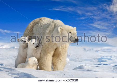 View of Polar Bear sow with her triplet cubs on the wind swept plains of Wapusk National Park, Manitoba, Canada COMPOSITE - Stock Photo