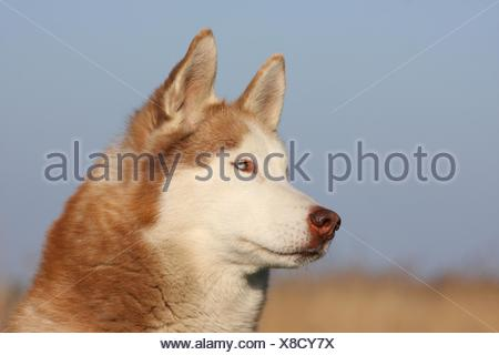Siberian Husky - Stock Photo