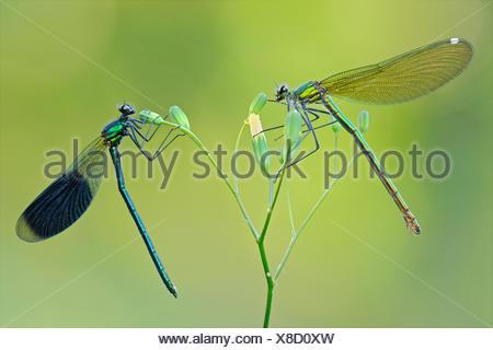 banded blackwings, banded agrion, banded demoiselle (Calopteryx splendens, Agrion splendens), couple on a flower, Germany - Stock Photo