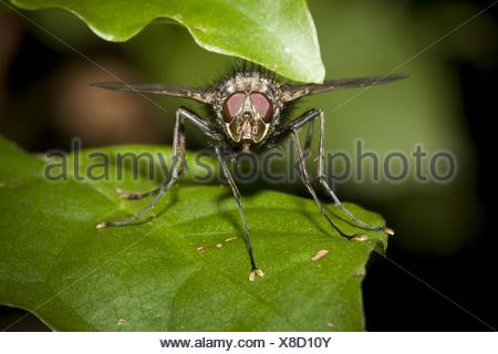 Tachinid fly, order Diptera, family Tachinidae  Photographed in Costa Rica - Stock Photo