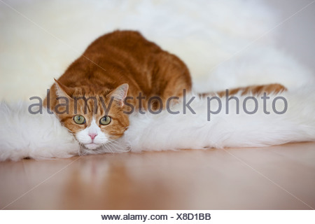 Ginger and white cat lying on fur, portrait - Stock Photo