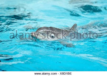 Young common bottlenose dolphin in a zoo