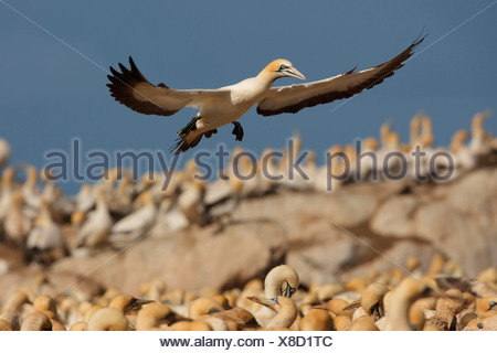 Cape gannet (Morus capensis), landing in a colony, South Africa, Western Cape, Bird Island-Westcoast, Lamberts Bay - Stock Photo