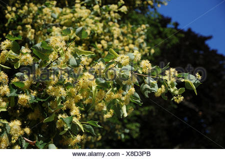 Small-leaved lime - Stock Photo
