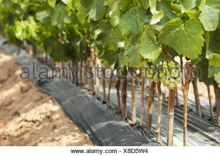 Young Vineyards in rows. - Stock Photo
