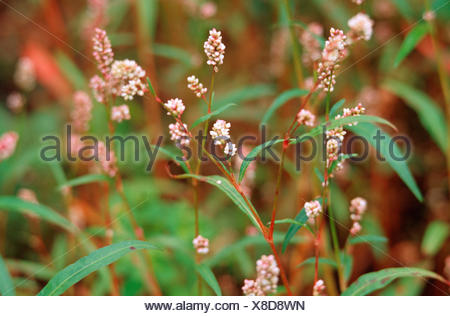 Redshank, Persicaria, Redleg, Lady's-thumb, Spotted Ladysthumb, Gambetta (Polygonum persicaria, Persicaria maculosa), blooming, Germany - Stock Photo