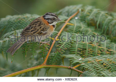 Rufous-collared Sparrow (Zonotrichia capensis) perched on a branch in the mountains of Colombia, South America. - Stock Photo