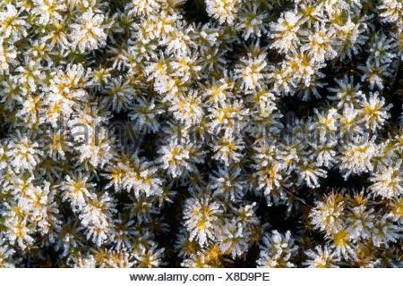 Springy Turf-moss or Bent-leaf Moss (Rhytidiadelphus squarrosus), Tirol, Austria - Stock Photo