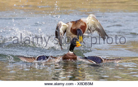 mallard (Anas platyrhynchos), two drakes in territorial fight, Germany, Bavaria - Stock Photo