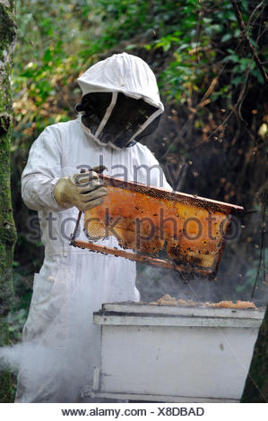 Man wearing a protective suit removing a honeycomb filled with honey from a beehive, in the community of Mbya-Guarani Indians - Stock Photo