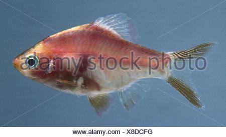 Red tiger Barb: An orange translucent fish. - Stock Photo