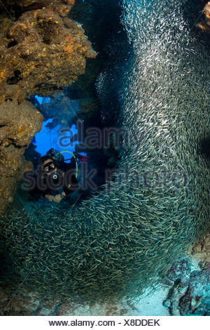 A SCUBA DIVER SWIMS THROUGH A SWIRLING MASS OF SILVERSIDES AT A DIVE SITE KNOWN AS LESLIE S CURL GRAND CAYMAN - Stock Photo