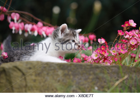 domestic cat, house cat, European Shorthair (Felis silvestris f. catus), 4 weeks old kitten lying on boundary stone at a flower - Stock Photo