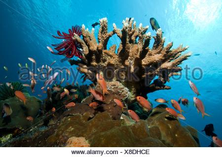 Lyretail Anthias in Coral Reef, Pseudanthias squamipinnis, Nusa Penida, Bali, Indonesia - Stock Photo