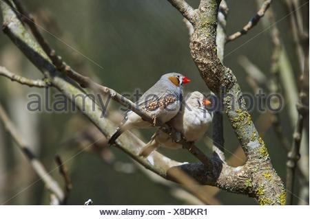 zebra finches Bird Park Marlow - Stock Photo