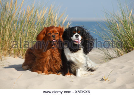 Cavalier King Charles Spaniels with tricolor and ruby colourations on beach, Texel, Netherlands - Stock Photo