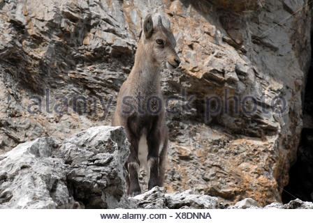 Dolomites, Veneto, Italy. A young  Alpine ibex (Capra ibex) - Stock Photo