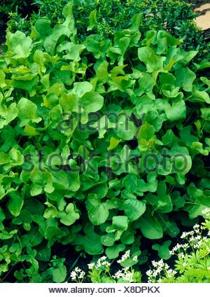 Sorrel - Buckler-leaved (Rumex scutatus)   HER038492 - Stock Photo