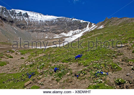 gentian family (Gentianaceae), flowering gentianas at the Grossglockner, Austria, Hohe Tauern National Park - Stock Photo