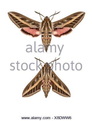 69.015 (1990) Striped Hawk-moth - Hyles livornica - Stock Photo