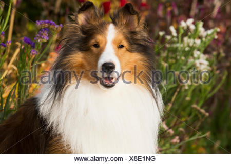 Shetland Sheepdog in autumn; Waterford, Connecticut, United States of America - Stock Photo