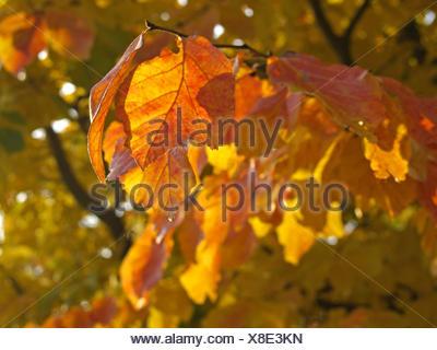 Baum, Baeume, Herbst, Herbstlaub, Blaetter, Farbe, Gelb, Gruen, Jahreszeiten, Natur, Landschaft, Stimmung, Ruhe, Stille, einzeln - Stock Photo