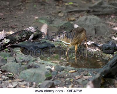 Lesser mouse-deer or kanchil (Tragulus kanchil) at waterhole, Kaeng Krachan National Park, Phetchaburi, Thailand - Stock Photo