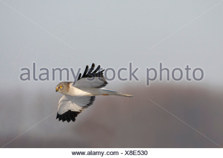hen harrier (Circus cyaneus), male in flight, Belgium - Stock Photo