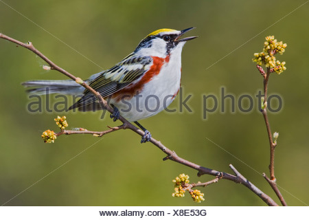 Chestnut-sided warbler (Dendroica pensylvanica) perched on a branch near Long Point, Ontario, Canada - Stock Photo