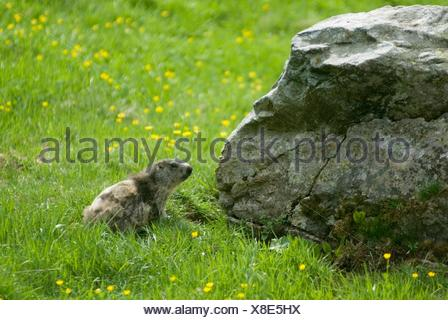 marmot in Val Piora, Canton Ticino, Switzerland, Europe - Stock Photo