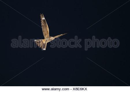 European nightjar (Caprimulgus europaeus), male flying in the night sky, Germany, North Rhine-Westphalia - Stock Photo