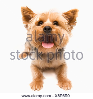 Studio shot of yorkshire terrier - Stock Photo
