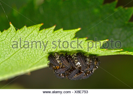 seven-spot ladybird, sevenspot ladybird, 7-spot ladybird (Coccinella septempunctata), just hatched larvae, Germany, Bavaria - Stock Photo