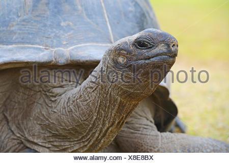 Aldabra-Riesenschildkroeten (Geochelone gigantea), endemisch, Insel Curieuse, Seychellen - Stock Photo