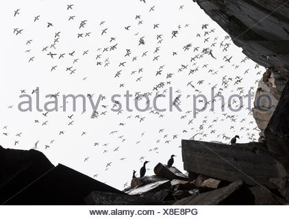 A flock of common guillemot,Uria aalge,fly above European shags,Phalacrocorax aristotelis,at the entrance of a cave. - Stock Photo