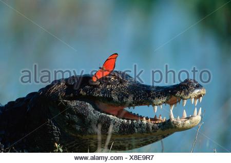 Paraguayan Caiman and Butterfly, Pantanal, Brazil / (Caiman crocodilus yacare), (Dryas julia) - Stock Photo
