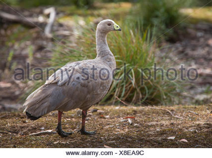 Portrait of a Cape Barren Goose, Cereopsis novaehollandiae. - Stock Photo