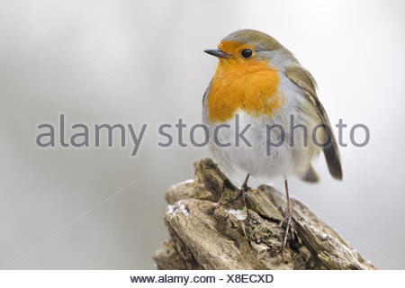 Rotkehlchen-(Erithacus-rubecula)20.jpg - Stock Photo